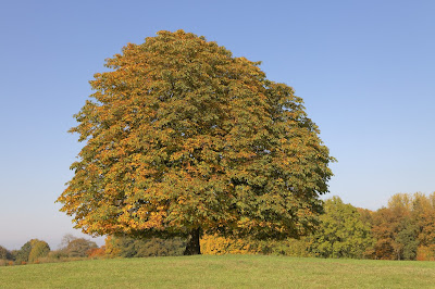 Pic of solitary horse chestnut, leaves turning yellow