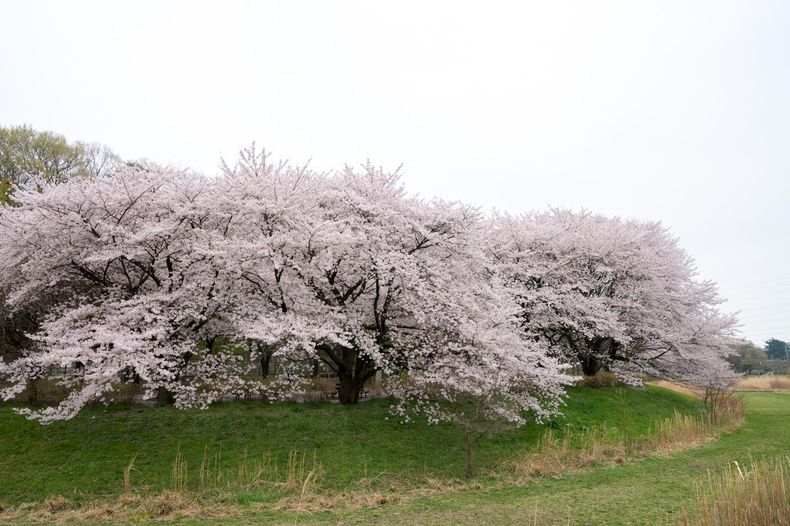 武蔵野公園の桜の写真