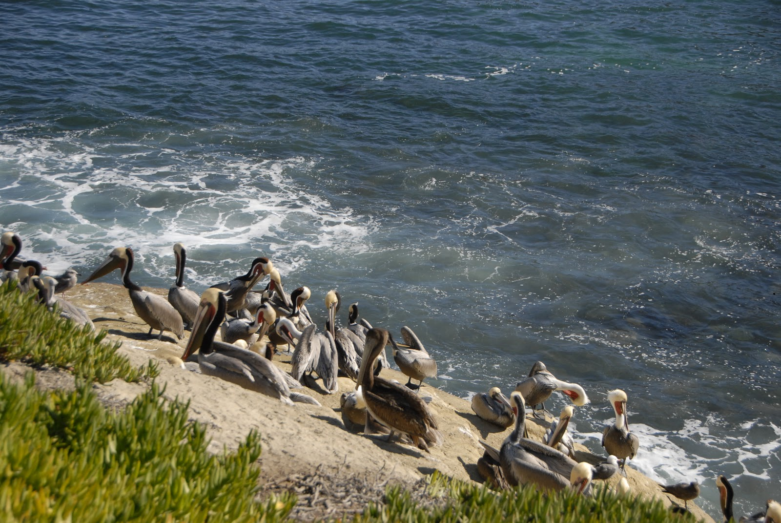many pelicans along the coastline