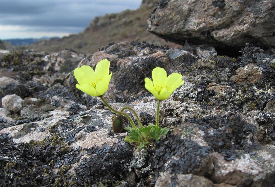 Melasól (Papaver radicatum)