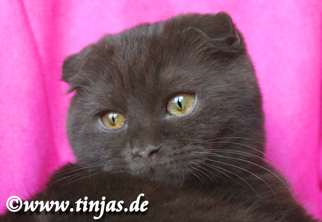Scottish Fold Chocolate tinjas