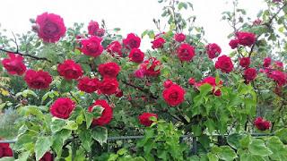 Roser natural