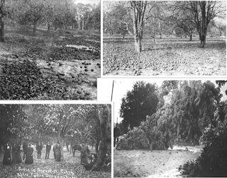 Four photos of Florida citrus groves after the 1894-1895 freeze