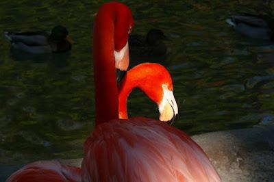 Close Up Flaminggo