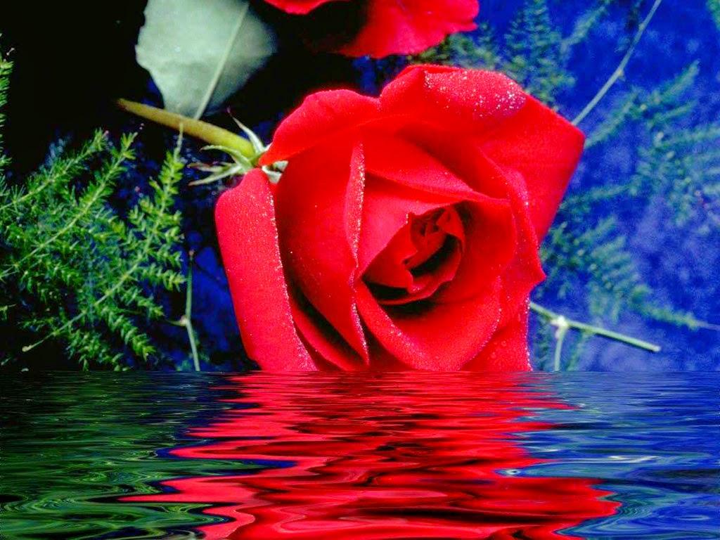 Bông hoa hồng đẹp nhất