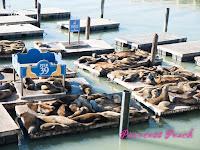 39號碼頭的海獅群
