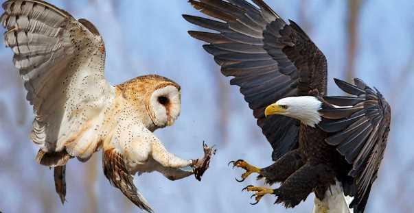 10 Burung Paling Berbahaya Di Dunia Kicau Sejati