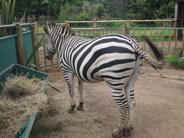 Zebra at Paradise Wildlife Park in Hertfordshire
