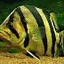 Mengenal Tiger Fish / Ikan Ringau dan Beberapa Jenisnya