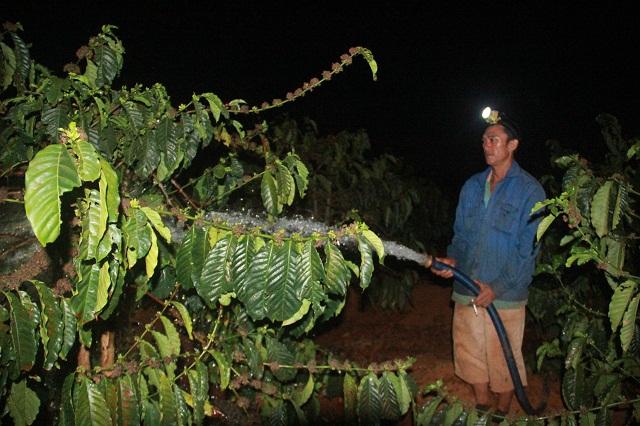 30 Tết, bà con nông dân Gia Lai vẫn đang hối hả tưới CÀ PHÊ và TIÊU