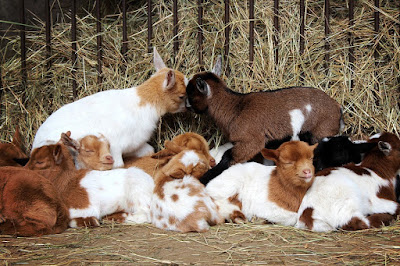 Care Baby Goat In Goat Business Opportunity