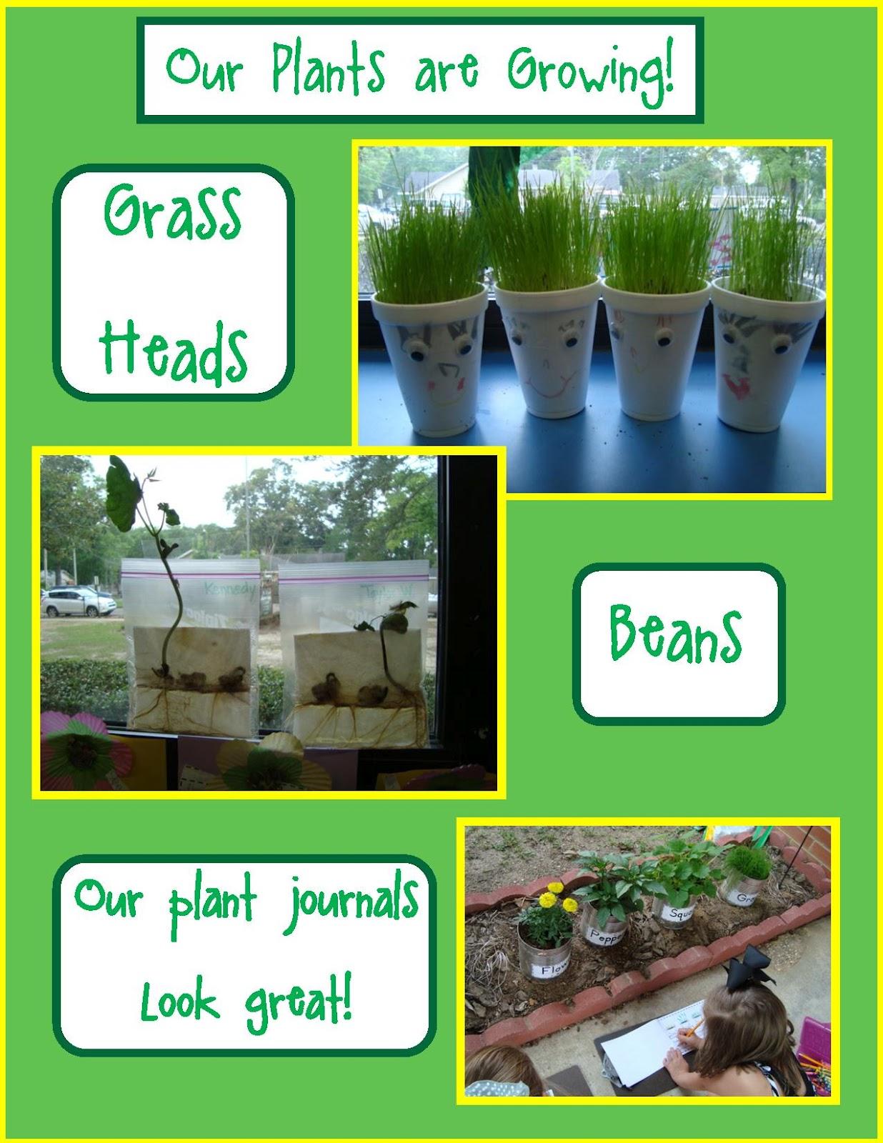 Golden Gang Kindergarten Our Plants Are Growing