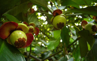 Artikel Asal Usul, Dan Budi Daya Pohon Manggis di Indonesia
