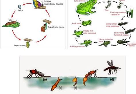 9200 Koleksi Gambar Hewan Dan Tahap Pertumbuhannya Nyamuk Terbaik