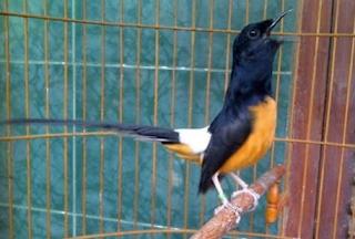 Download Suara Burung Murai Batu