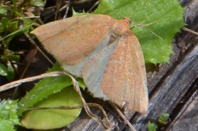 pink-orange moth