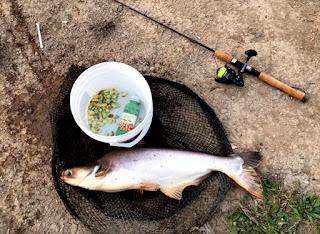 Umpan Ikan Patin Ampuh dan Jitu