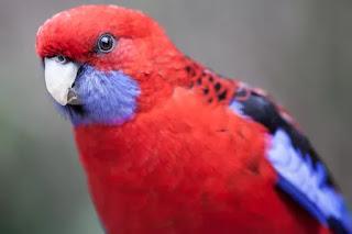 Burung Nuri Crimson Rosella