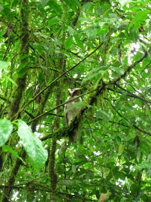 Buho en Costa Rica
