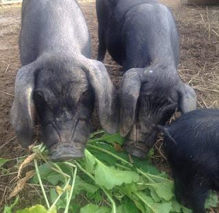 Heritage pig breeds: Meishans