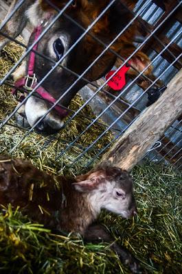eight acres: favourite house cow blogs