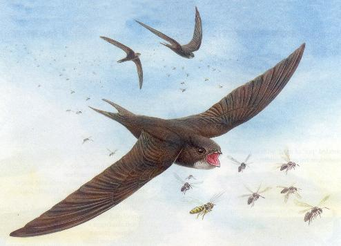 The Swift (Apus apus) -  (image RSPB)