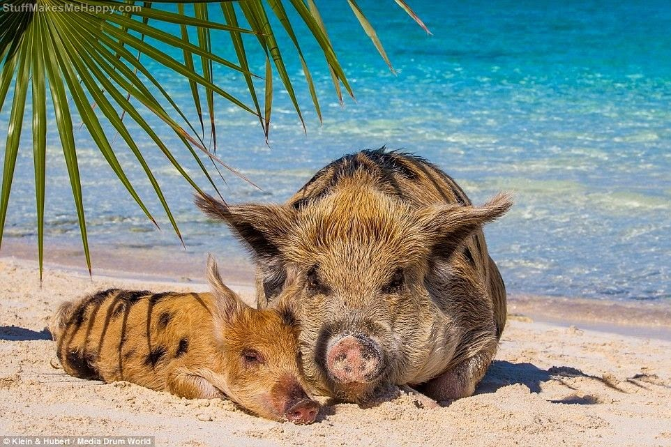 Happy life of Cheerful Swimming Pigs of the Big Majors Cay, Bahamas