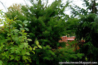 Daglezja zielona- Pseudotsuga menziesii