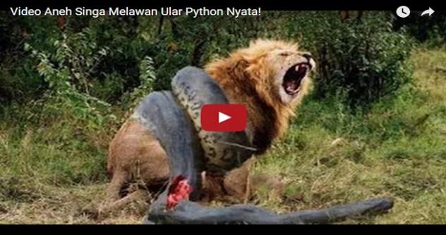 VIDEO - Singa ANEH Melawan Ular Sawa!! Walaupun Ular Sawa Mati TAPI Belitan Membuatkan SINGA Itu...