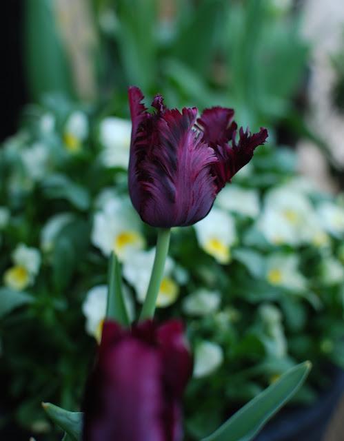 Dyprød/svart tulipan fra Marias hage