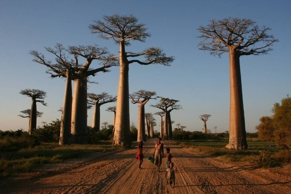 Avenue of Baobab in Madagascar