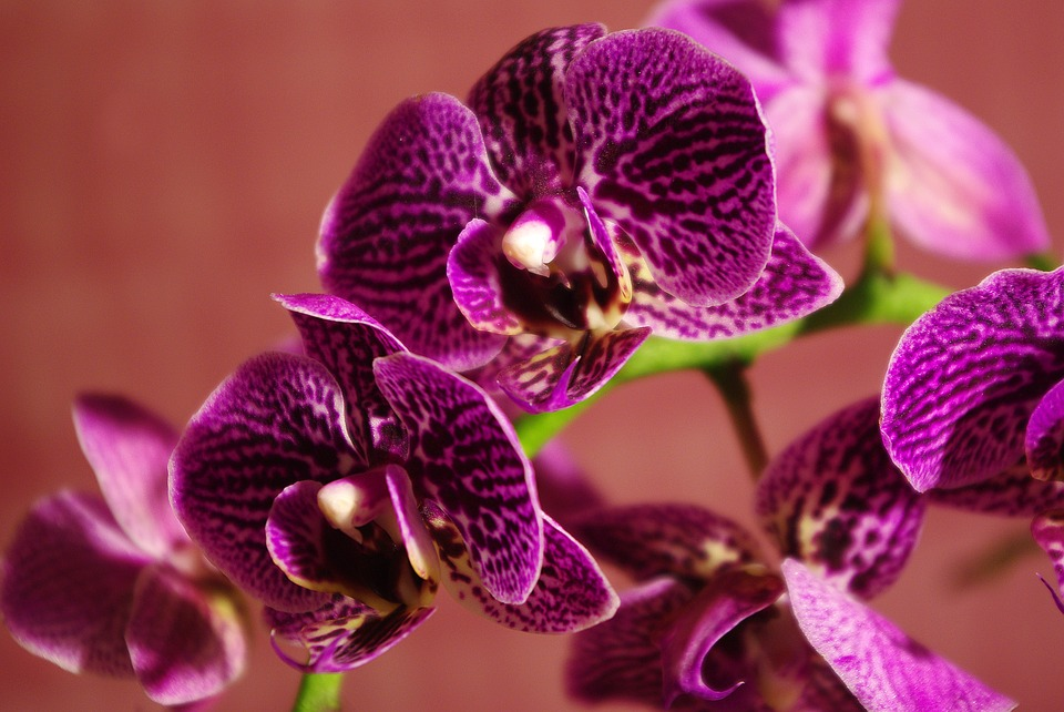 Cum înmulțești orhideea Phalaenopsis