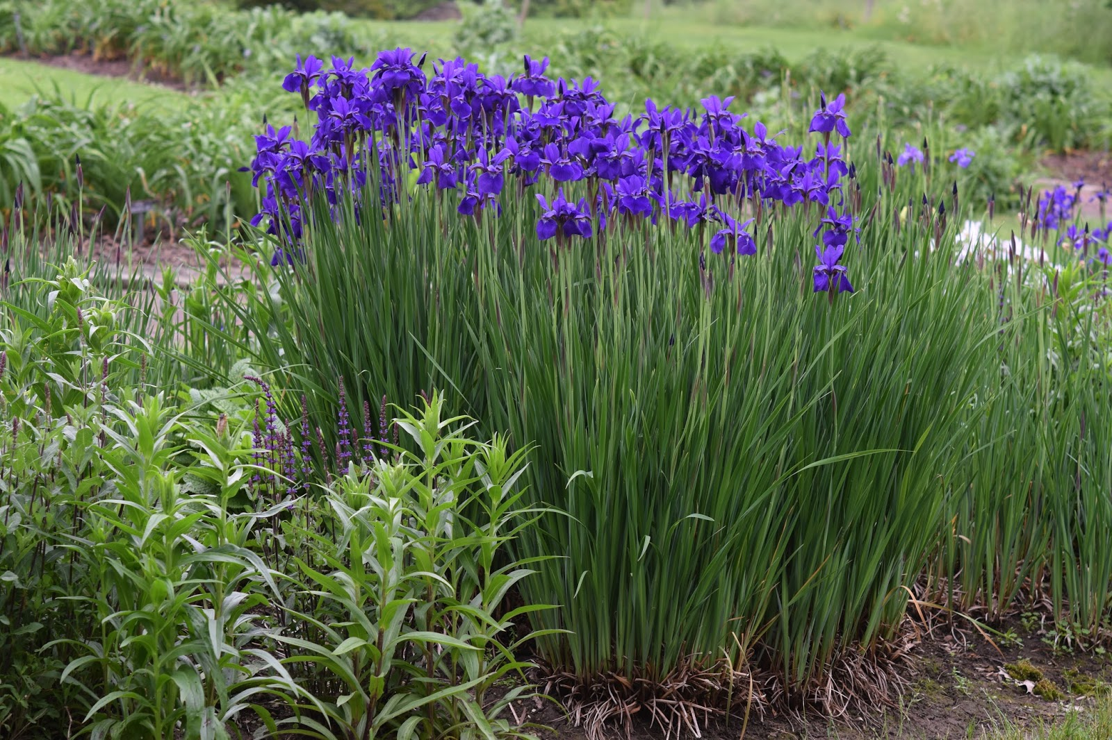 The Gallery For Gt Siberian Iris