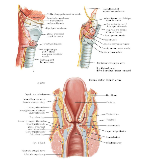 Nerves and Coronal Section of Larynx Anatomy