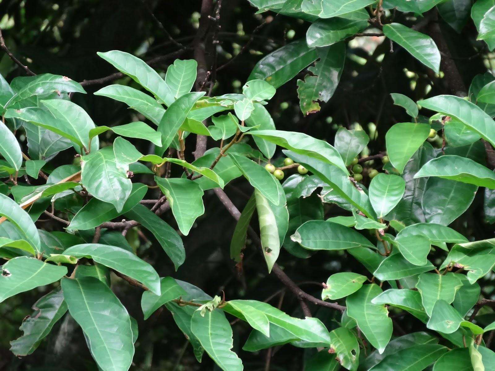 雨玹: 九重吹(九丁榕)/Mountain Fig