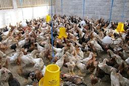 mengatasi kanibalisme pada ayam dengan efektif