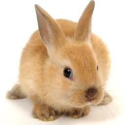 Foto de conejo con orejas largas - Animal doméstico
