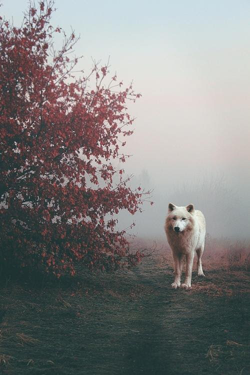 A Haunting Picture of a White Wolf Shrouded in Fog.