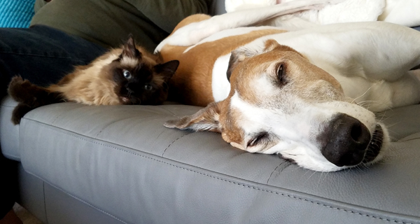 image of Matilda the Fuzzy Sealpoint Cat lying next to Dudley the Greyhound on the sofa