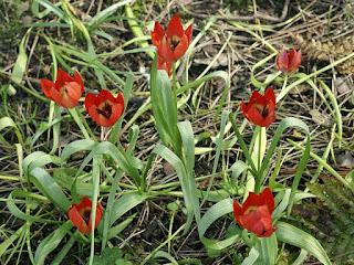 Tulipa hageri 'Splendens'