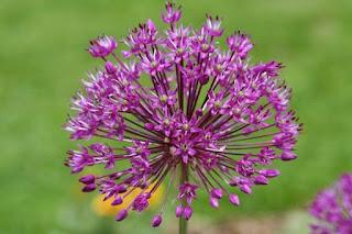 Allium Plants Sensation Flower