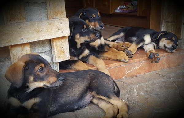 cachorros cruce pastor alemán con doberman