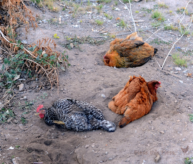 chickens taking a dirt bath, hens staying together