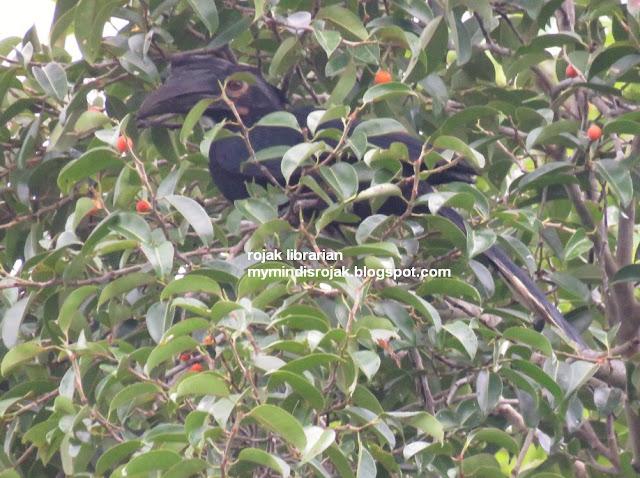 Black Hornbill in Ubin