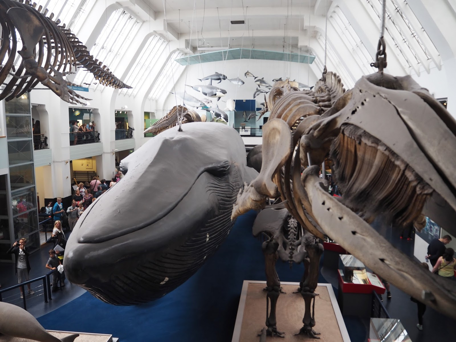 Blue whale and whale skeleton, Natural History Museum, London