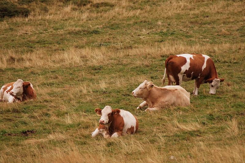 Urlaub im Lungau, Österreich, im September: Kühe im Nebel