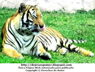 Foto de un tigre lavándose la cara en el Parque de las Leyendas. Foto del tigre de Jesus Gómez