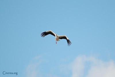 Cigüeña en pleno vuelo