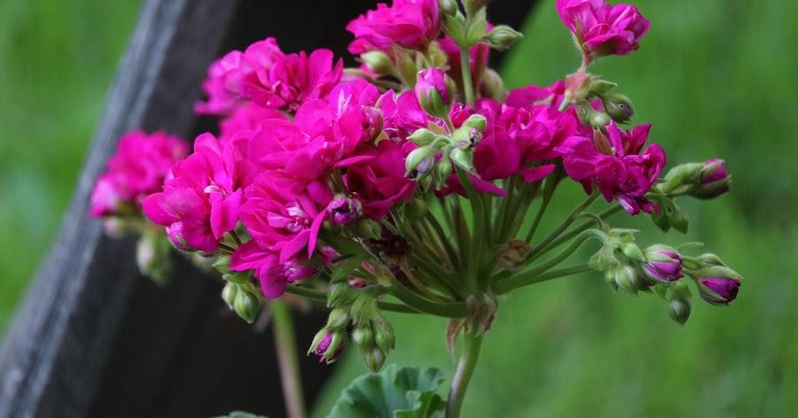 Sarin puutarhat: Lisälannoitus tehty!