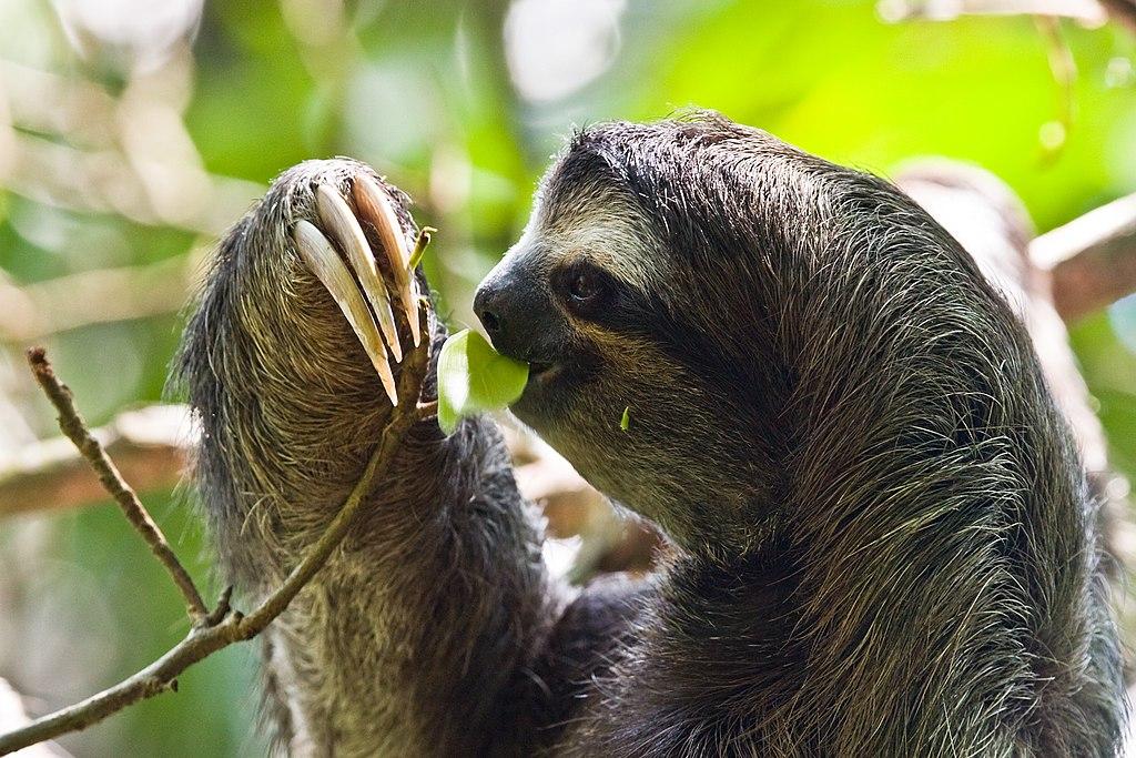 Hewan Paling Lambat Bukanlah Siput Tetapi Sloth Berjari Tiga Ely